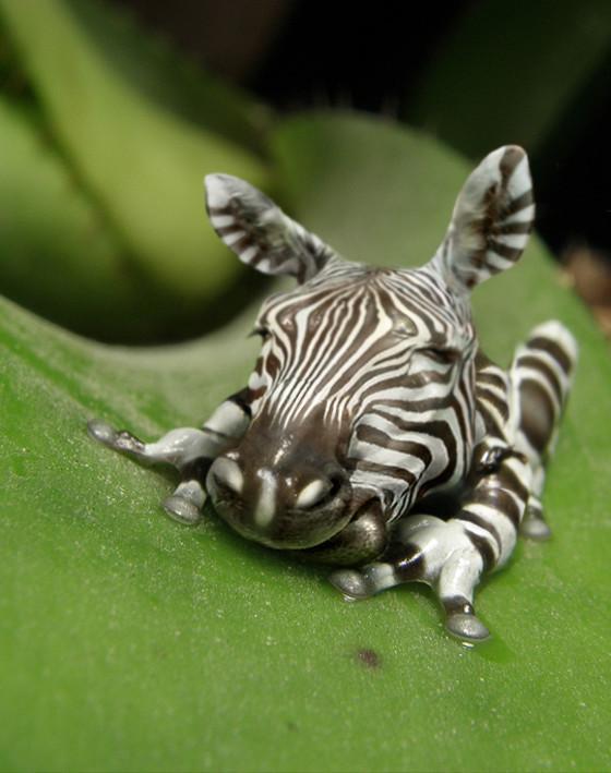 Zebrafrog